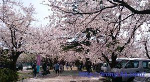 すぐキレる彼女の対処法を説明するために使用した桜の写真